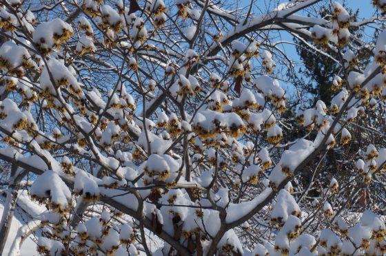 Witch Hazel in snow
