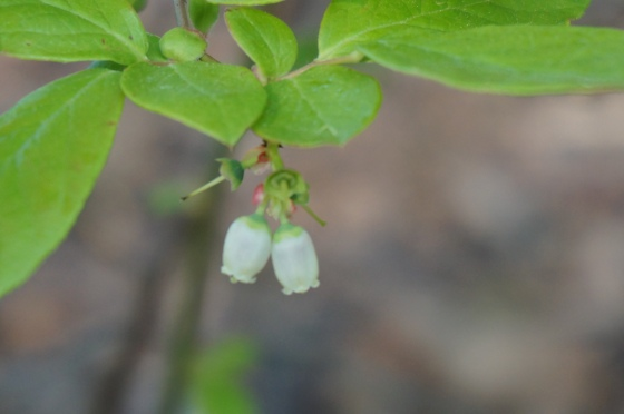 Lowbush Blueberry Flowers