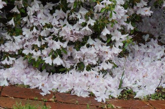 azalea after hail