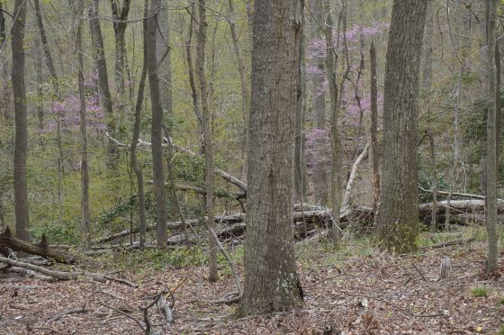 Eastern Redbud Understory tree
