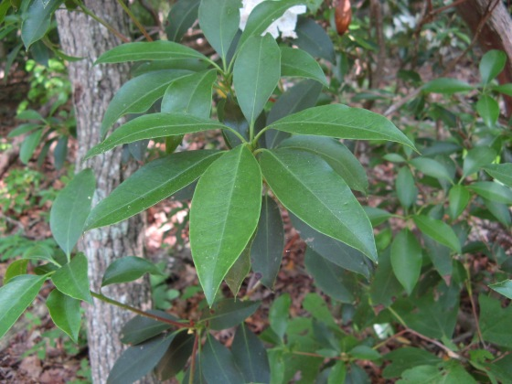 Mountain Laurel leaves