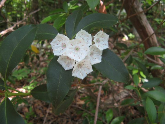 Mountain Laurel Flowers