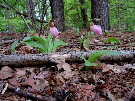 Pink Lady's Slipper