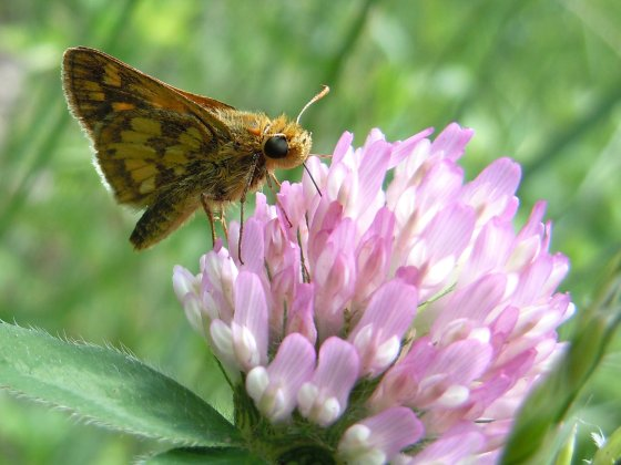 Peck's Skipper on Clover