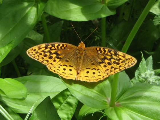 Great Spangled Frit