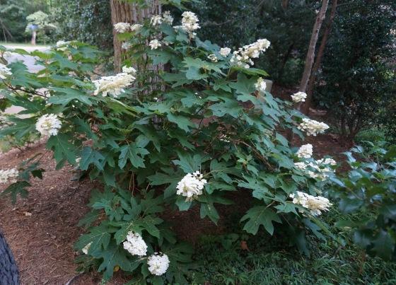 Oak Leaf Hydrangea shrub