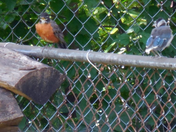 American Robin and Baby Blue Jay