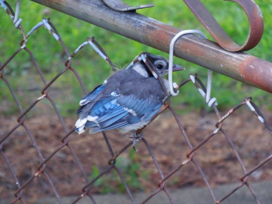 Baby Blue Jay stuck in a fence