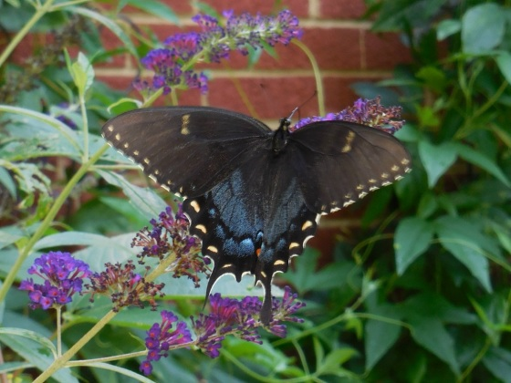 Black phase Tiger Swallowtail