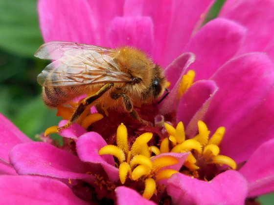 Honeybee on zinnia