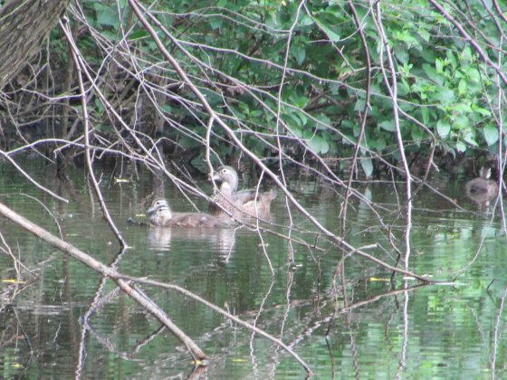 Wood Duck with young