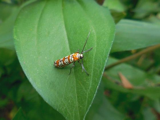 Ailanthus Webworm Moth