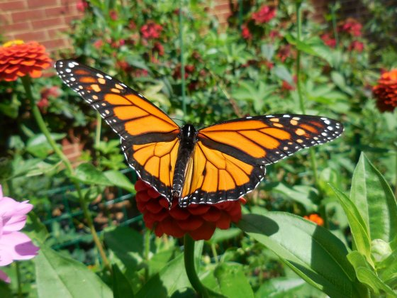 Monarch spreading his wings