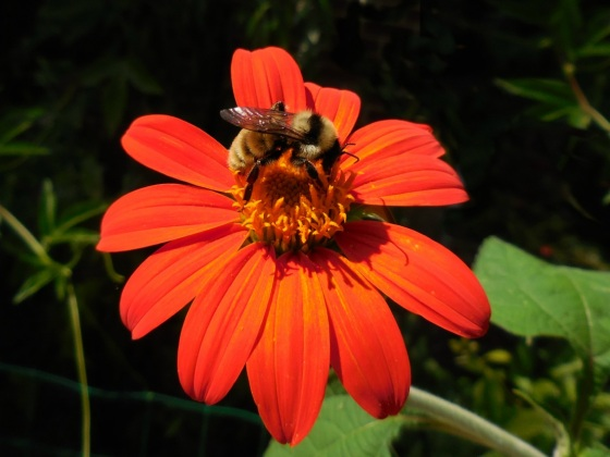 Yellow Bumble Bee on Mexican Sunflower