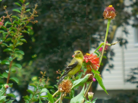 Goldfinch on Zinnia
