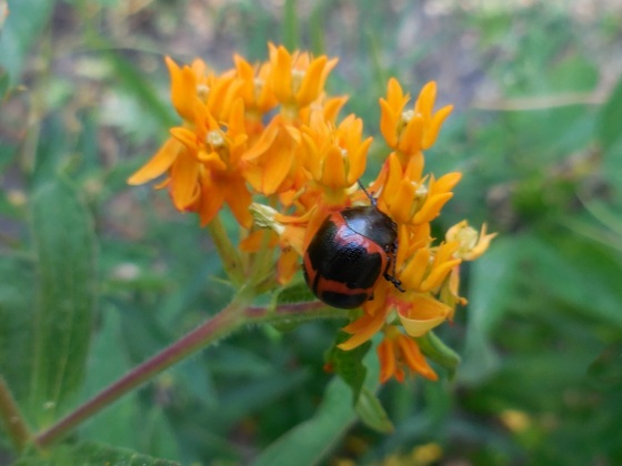 Milkweed Leaf Beetle on Butterflyweed