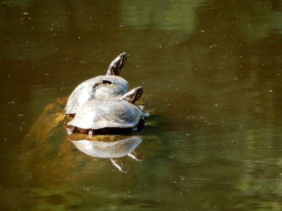 The Squirrel Nutwork, water turtles, pond life, reptiles