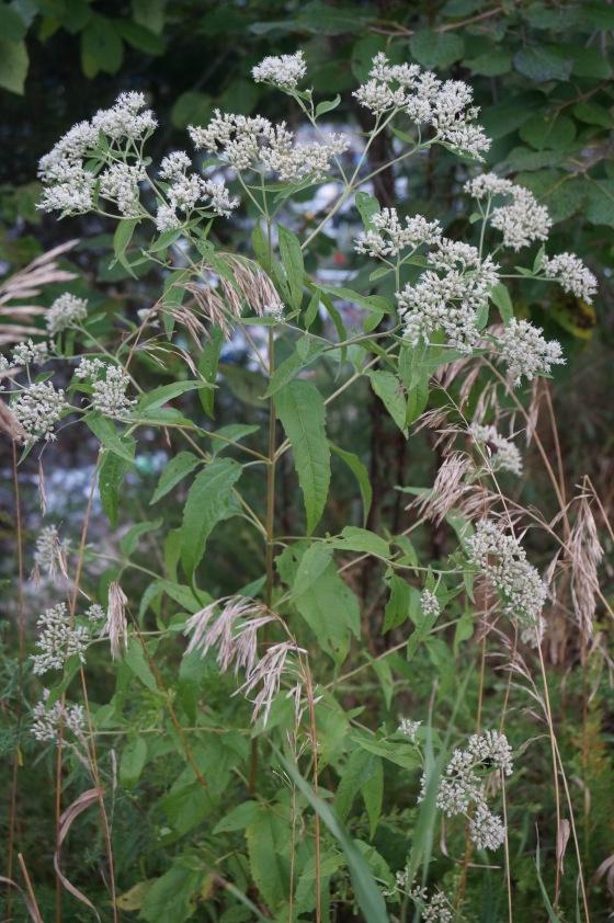 Boneset plant