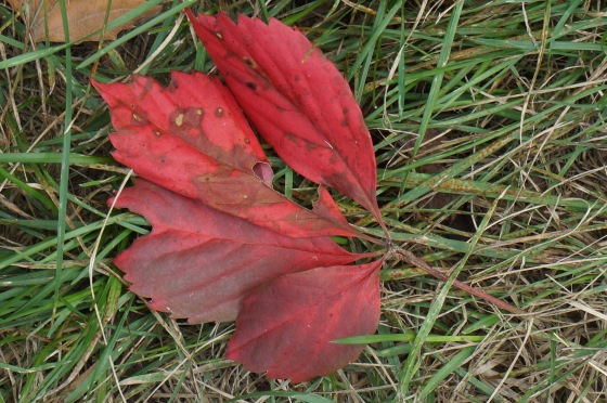 five leaf vine