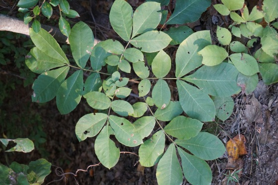 Hickory Tree leaves