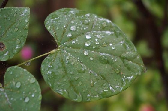 rain on Redbud
