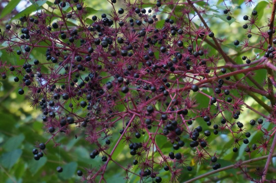 berries of Devil's Walkingstick