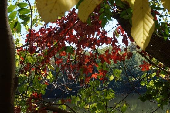 Virginia Creeper in fall color