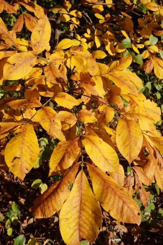 Mockernut Hickory leaves in fall color