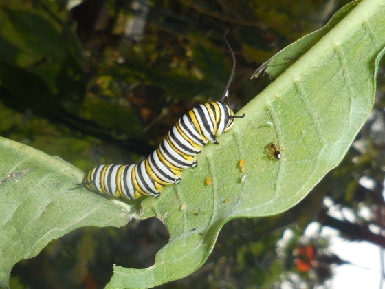 Monarch caterpillar in fall 2