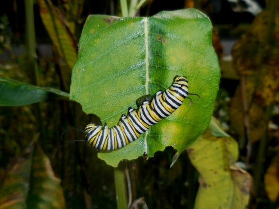 Monarch caterpillar in fall