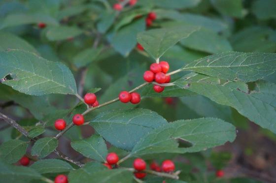 Winterberry Berries
