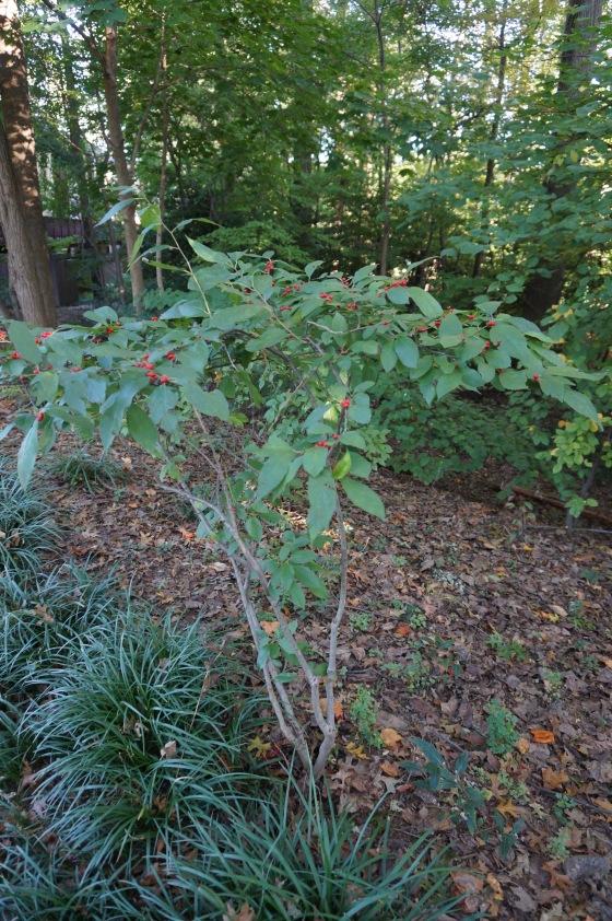 Winterberry Shrub