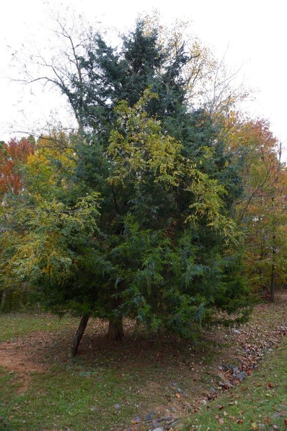 Easter Red Cedar tree