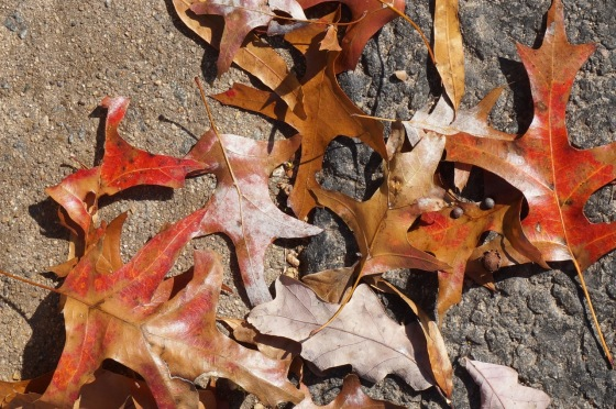 black oak leaves in fall color