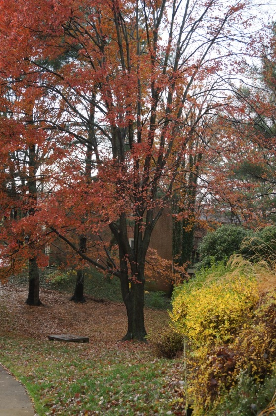 Red Maple in fall color