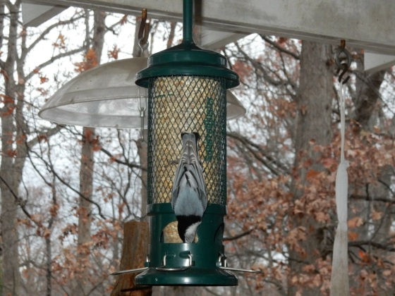 Birdfeeder with White-breasted Nuthatch