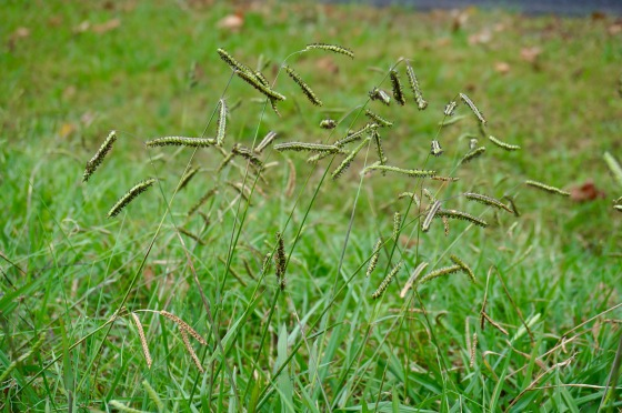 Eyelash grass