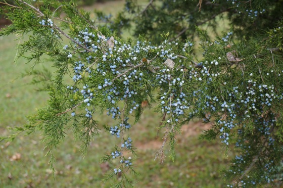 Eastern Red Cedar with seed cones in fall