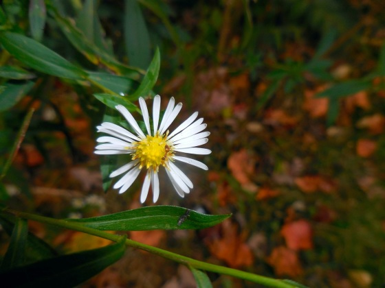 Small White Aster close-up