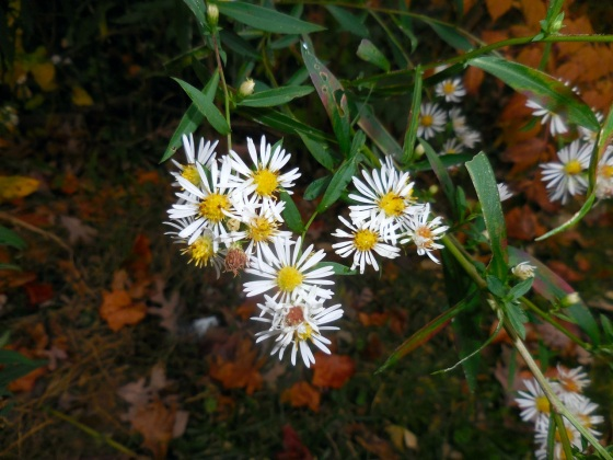 Small White Aster