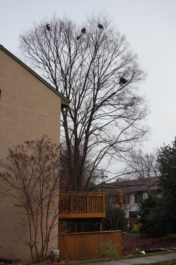 Tree with squirrel leaf nests