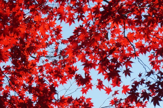 Japanese Maple leaves in fall color