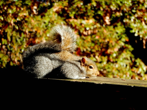 Easter Gray Squirrel sunning