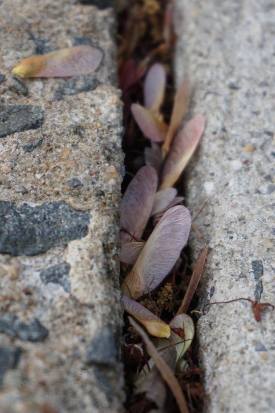 samaras in sidewalk crack