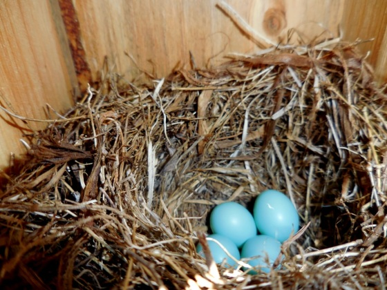 Eastern Bluebird eggs inside the nest box