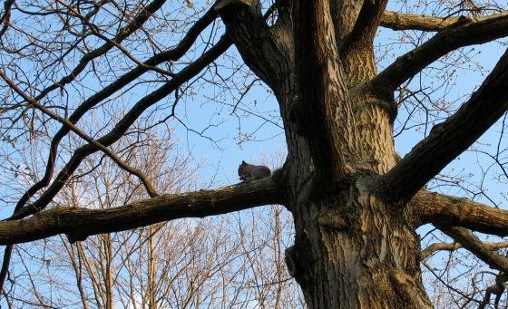 Eastern Gray Squirrel in Black Oak Tree