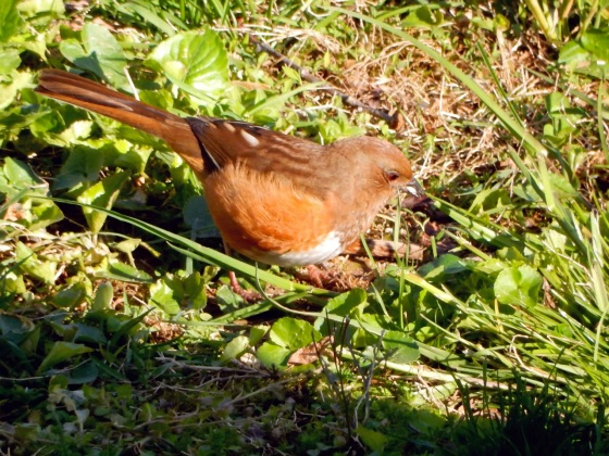 Eastern Towhee with red eyes
