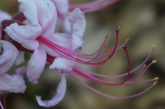 Pinkster azalea flower stamens