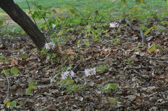 Pinkster Azalea shrub