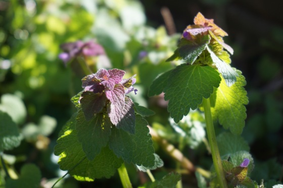 Purple Dead Nettle stem